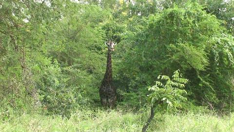 Malawi: giraffe in a wild 7a Stock Video Footage