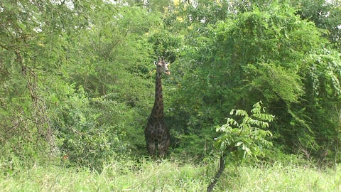 Malawi: giraffe in a wild 7a Live Action