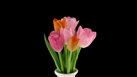 Stereoscopic 3D time-lapse of opening tulip bouquet 1-left-1080p Live Action