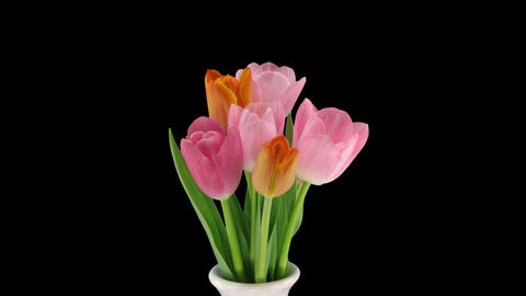 Stereoscopic 3D time-lapse of opening tulip bouquet 1-right-1080p Footage