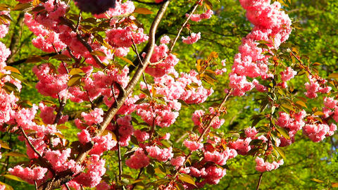 Cherry Blossoms Tree 01 Stock Video Footage
