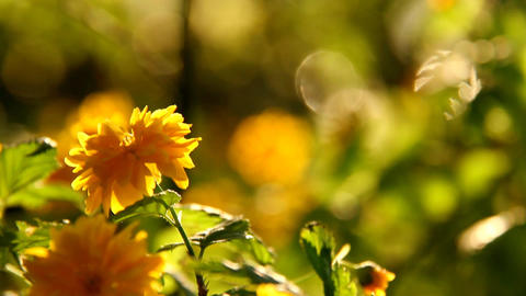 Spring Beauty Flowers 02 Stock Video Footage