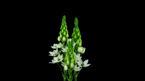 Stereoscopic 3D time-lapse of opening snowflake flower 1a... Stock Video Footage