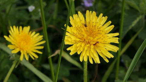 Dandelion and ants Stock Video Footage