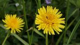 Dandelion And Ants stock footage
