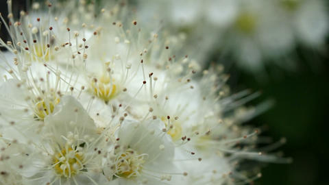 Weak swinging white flowers Stock Video Footage