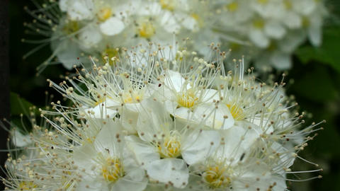 White blossoms of hawthorn Stock Video Footage