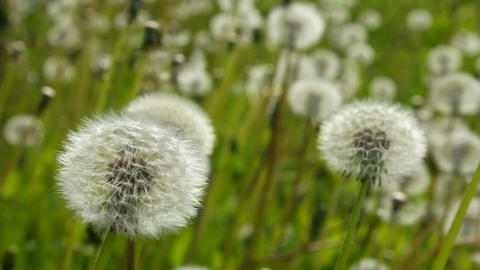White dandelions are sharp Stock Video Footage