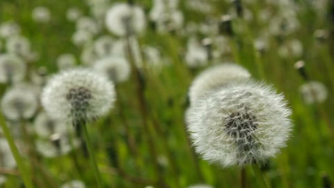 Swinging white dandelions Footage