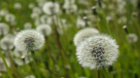 Swinging white dandelions Stock Video Footage