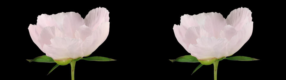 Stereoscopic 3D time-lapse of opening white peony 1... Stock Video Footage