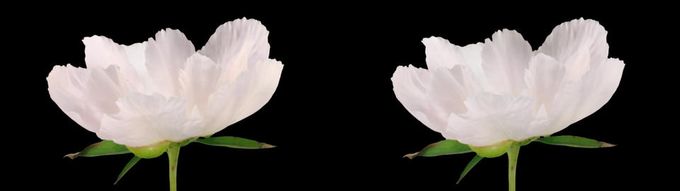 Stereoscopic 3D time-lapse of opening white peony 1 (cross-vision) Live Action