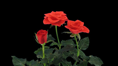 Stereoscopic 3D time-lapse of opening red rose 1a (left-eye) Stock Video Footage
