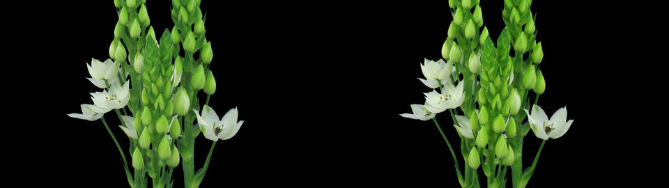 Stereoscopic 3D time-lapse of opening snowflake flower 1c... Stock Video Footage