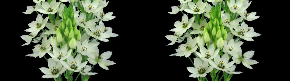 Stereoscopic 3D time-lapse of opening snowflake flower 1c (cross-vision) Footage