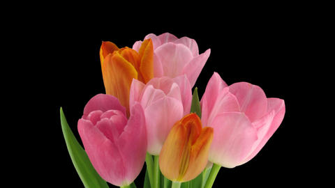 Stereoscopic 3D time-lapse of opening tulip bouquet... Stock Video Footage
