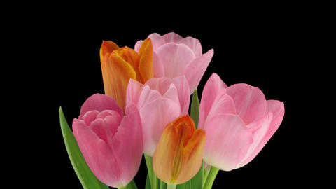 Stereoscopic 3D time-lapse of opening tulip bouquet 1b-right-1080p Footage