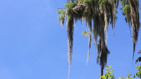 spanish moss pond cypress Live Action