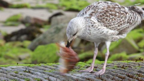 Seagull eating fish head Footage
