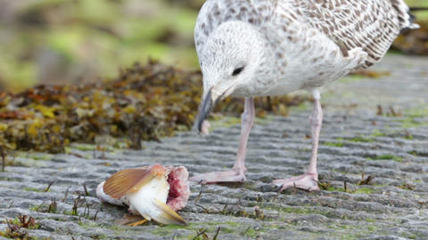 Seagull eating fish head Footage