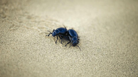 1920x1080 hidef. hdtv - copulating Scarab beetles  Live Action