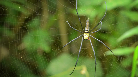 Big spider in its web - Nephila Footage