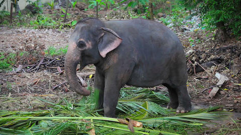 A young Asian elephant eats Footage