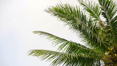 Coconut palms against the sky Footage