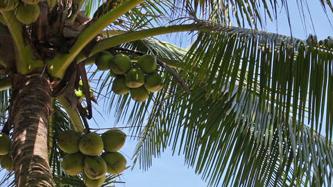 Coconuts at the top of palm tree Footage