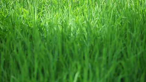 Green Grass Swaying. Background With A Focus In Th stock footage