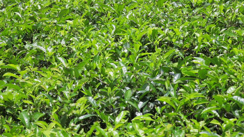 Tea bush close-up with panning Footage