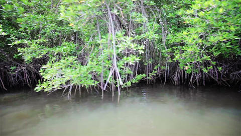 Mangroves along the shore of a tropical river Footage