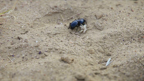 Pair of scarab beetles in the sand at desert of In Footage