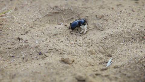 Pair of scarab beetles in the sand at desert of In Footage