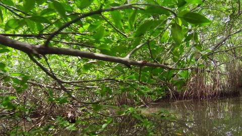 Dense thickets of mangrove trees Footage