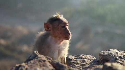Monkey Looks Around At Dawn Sitting On A Rock In M stock footage