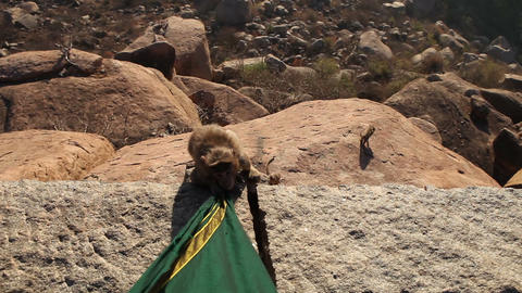 monkey nibbles dress sitting on the edge of a clif Footage