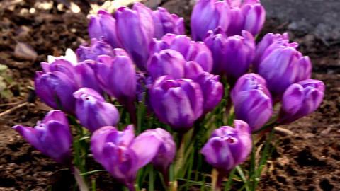 A purple crocus plant Footage
