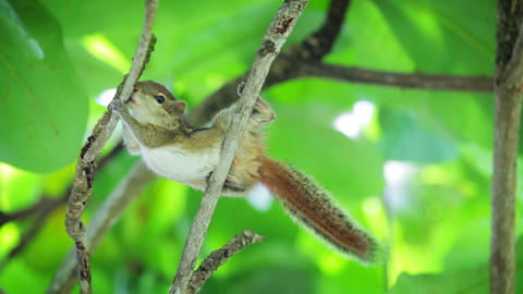 Palm squirrel (chipmunk) gnaws wood branch Footage