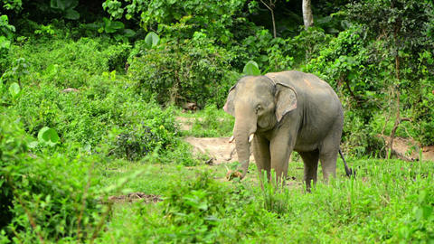 Adult elephant in the forest. Thailand Footage