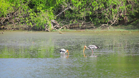 Wading birds Painted Stork. Sri Lanka Footage