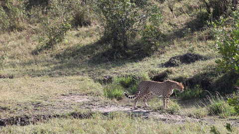 Cheetah Africa Wildlife Safari Stalking Footage