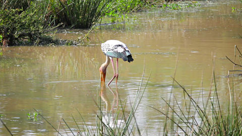 Wading bird Painted Stork. Sri Lanka Footage