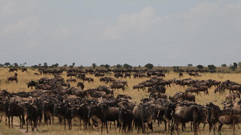 Summer migration of wildebeests in the Masai Mara Footage