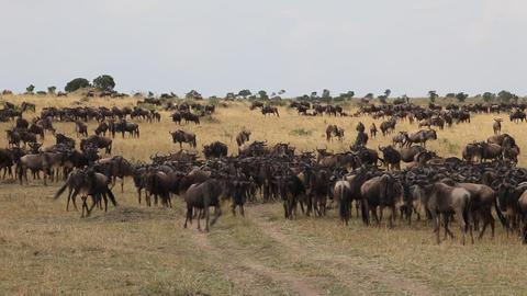 African wildebeest migrate Footage
