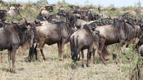 Close Up Of A File Of Wildebeests Migrating Footage
