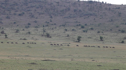 Migration Of Wildebeest Masai Mara. Kenya Footage
