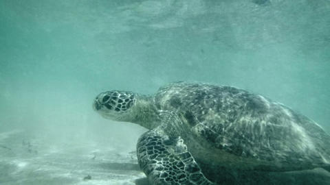 Sea turtle in shallow water near the beach. Sri La Footage