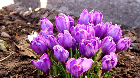 The purple petals of the crocus plant Footage