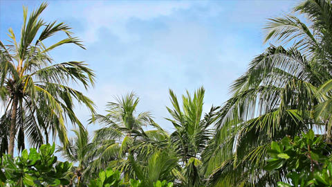 Palm grove swaying on the wind against a blue sky Footage